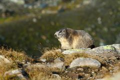 Mountain marmot Stock Photo