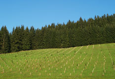 Mountain meadow. With young plum trees Royalty Free Stock Photos
