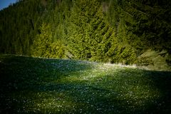 Mountain Meadow. Green mountain meadow with wildflowers Royalty Free Stock Photos