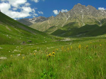 Mountain meadow. With yellow flowers Royalty Free Stock Image