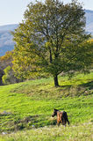 Mountain meadow with a big tree and a horse on a sunny autumn day Royalty Free Stock Photography