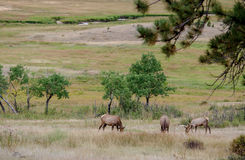 Mountain meadow with elk Stock Photography