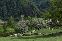 Mountain meadow with flock of sheep Royalty Free Stock Photography