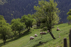 Mountain meadow with flock of sheep Stock Photography