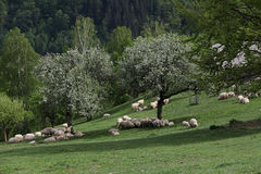 Mountain meadow with flock of sheep Royalty Free Stock Photo