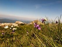 Mountain meadow full of flowers, Babiogorski National Park Royalty Free Stock Photos
