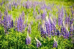 A mountain meadow full of purple flowers Lupine. Poland, A mountain meadow full of purple flowers Lupine dolni morava czech republic europe lupinus field stock photo
