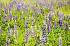 A mountain meadow full of purple flowers Lupine. Poland, A mountain meadow full of purple flowers Lupine dolni morava czech republic europe lupinus field royalty free stock photo