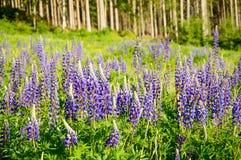 A mountain meadow full of purple flowers Lupine. Poland, A mountain meadow full of purple flowers Lupine dolni morava czech republic europe lupinus field stock image