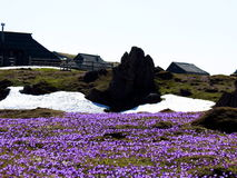 Mountain meadow full of purple saffrons and snow Royalty Free Stock Photo