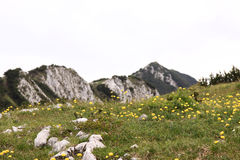 Mountain Meadow. Meadow in the mountains of lower Austria with lots of yellow flowers Stock Image