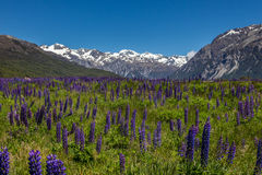Mountain Meadow with Purple Lupins Stock Photography