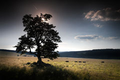 Mountain meadow with trees and cattle Stock Photography