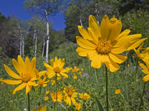 Mountain meadow view of Aspen and Arnica Sunflower Stock Photo