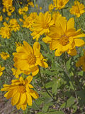 Mountain meadow view of Heartleaf Arnica Royalty Free Stock Photo