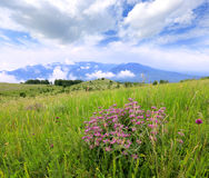 Mountain meadow with wild flowers Royalty Free Stock Photo