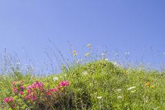 Mountain meadowin summer. Mountain meadow with flowering alpine roses against a blue sky royalty free stock image