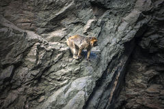 Mountain monkey in rocks. Wildlife hunters background with copy space stock image