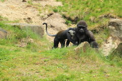 Mountain monkey and young gorilla Royalty Free Stock Photography