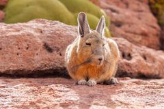 Mountain Northern Viscacha, lagostomus maximus, family of the chinchillas, southern Bolivia Stock Photos