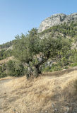 Mountain with olive tree Royalty Free Stock Image