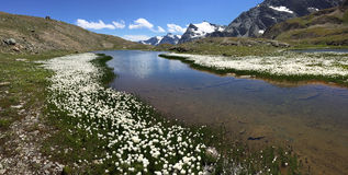 Mountain panorama: a small lake with white flowers (Eriofori, en. Demic in the area) in a summer sunny day. Gran Paradiso National Park, Western italian Alps Stock Photo