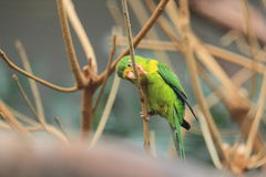 Mountain parakeet Royalty Free Stock Photo