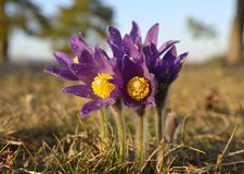 Mountain Pasqueflower (Pulsatilla montana) Stock Photography