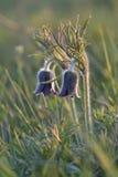 Mountain Pasqueflower (Pulsatilla montana Stock Image