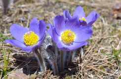 Mountain Pasqueflower (Pulsatilla montana) Royalty Free Stock Images