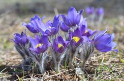 Mountain Pasqueflower (Pulsatilla montana) Royalty Free Stock Photography