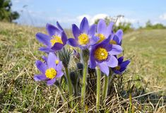 Mountain Pasqueflower (Pulsatilla montana) Royalty Free Stock Photos