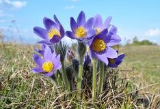 Mountain Pasqueflower (Pulsatilla montana) Royalty Free Stock Photos