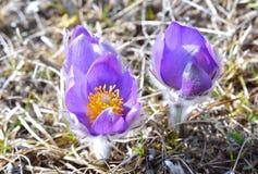 Mountain Pasqueflower (Pulsatilla montana) Royalty Free Stock Image