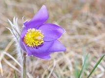 Mountain Pasqueflower (Pulsatilla montana) Stock Photography