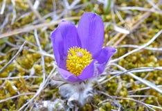 Mountain Pasqueflower (Pulsatilla montana) Stock Photo