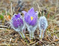 Mountain Pasqueflower (Pulsatilla montana) Stock Images