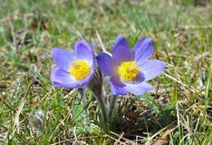 Mountain Pasqueflower (Pulsatilla montana) Stock Photo