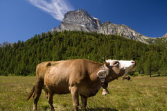 Mountain pasture. Cow in Alpe Veglia italian natural park and Monte Leone in background, Piemonte, Italy Royalty Free Stock Photography
