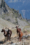 Mountain pasture in french alps. Near Chamrousse Stock Photo