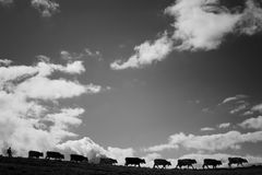 Mountain pasture. Several cows walking in line under a nice but cloudy sky Stock Photography