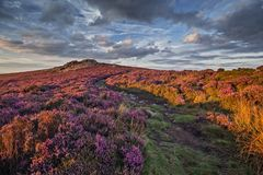 Mountain Path Amongst Blooming Heather Flowers in Sunset Light. Scenic upland in bloom of heather flowers at warm summer evening. Shropshire Hills in United stock photography