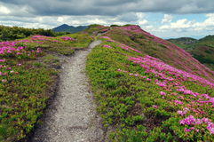 Flowers. Spring landscape. Mountain path through the rhododendrons - Rodnei Mountains, Romania Royalty Free Stock Image
