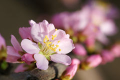Mountain peach flower Royalty Free Stock Image
