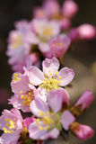 Mountain peach flower Stock Image