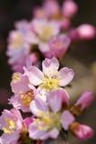 Mountain peach flower Stock Image