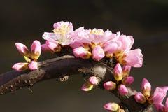 Mountain peach flower Royalty Free Stock Photos