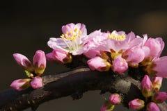 Mountain peach flower Stock Photo
