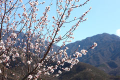Mountain peach flowers Stock Image