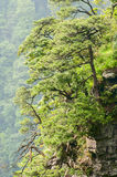 Mountain peak and pine trees Royalty Free Stock Photo